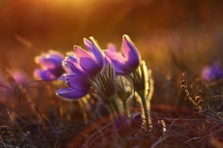 Beautiful violet flowers on a meadow at sunset. Beautiful natural colorful background. Pasque flower (Pulsatilla grandis)
