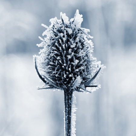 Frozen Onopordum acanthium .Frost on branches. Beautiful winter seasonal natural background.