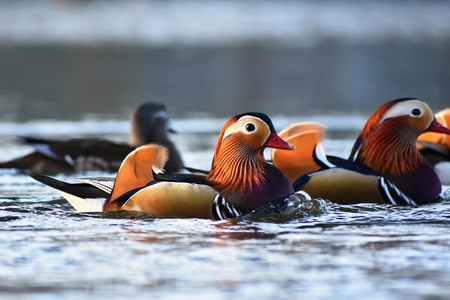 Closeup male mandarin duck (Aix galericulata) swimming on the water with reflection. A beautiful bird living in the wild.