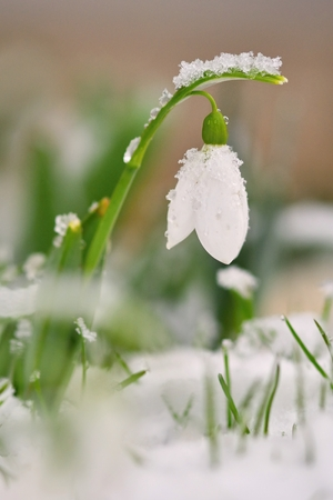 Snowdrops spring flowers. Beautifully blooming in the grass at sunset. Delicate Snowdrop flower is one of the spring symbols. (Amaryllidaceae - Galanthus nivalis)