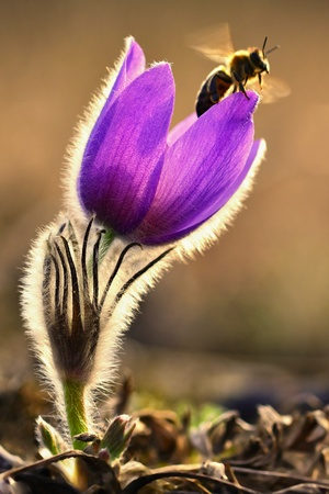 Spring flower with a bee. Beautifully blossoming pasque flower and sun with a natural colored background. (Pulsatilla grandis) Springtime season.