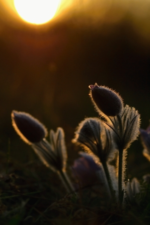 Springtime flower. Beautiful purple little furry pasque-flower. (Pulsatilla grandis) Blooming on spring meadow at the sunset.