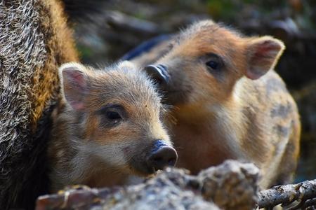 Beautiful little pigs wild in nature. Wild boar. Animal in the forest Foto de archivo