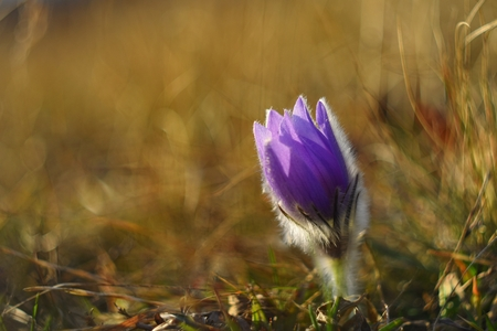 Spring flowers. Nature and meadow at sunset. Seasonal concept for springtime. Beautifully blossoming pasque flower and sun with a natural colored background. (Pulsatilla grandis). Stock Photo