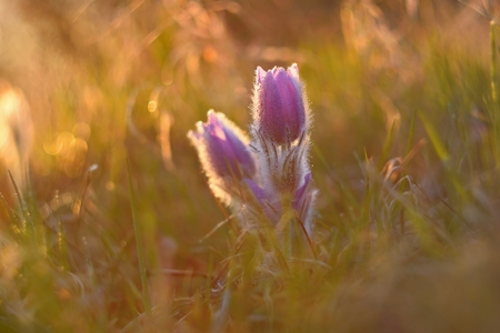 Spring flower. Nature with meadow and sunset. Seasonal concept for springtime. Beautifully blossoming pasque flower and sun with a natural colored background. (Pulsatilla grandis)