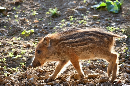 Beautiful little pigs wild in nature. Wild boar. Animal in the forest Banco de Imagens