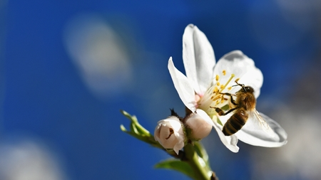 Spring background. A beautiful blooming tree in spring with a flying bee. Symbols of springtime. Concept for nature and animals. Reklamní fotografie