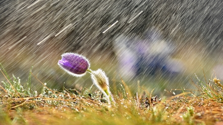 Beautiful spring background with flower and rain.  Pasque flower and sun with a natural colored background. (Pulsatilla grandis)
