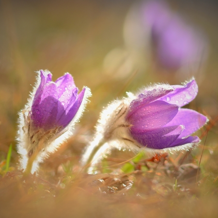 Spring. Beautiful blossoming flower on a meadow.  Pasque flower and sun with a natural colored background. (Pulsatilla grandis) Reklamní fotografie