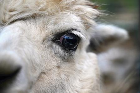 Eye of a llama. Detailed photo of animal eye.