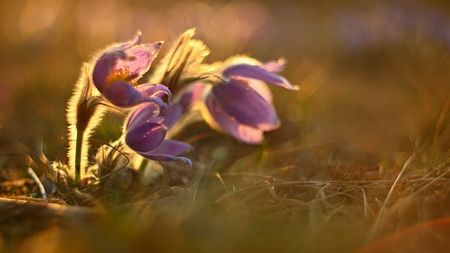 Spring background with flowers on meadow. Beautiful blooming pasque flower at sunset. Spring nature, colorful natural blurred background.