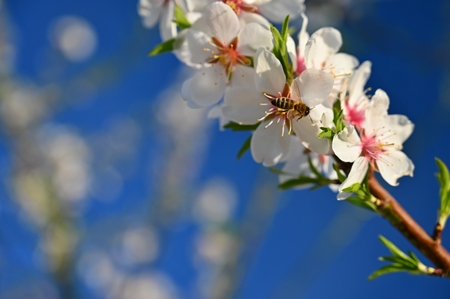 Beautiful nature scene with blooming tree and sun. Easter Sunny day. Spring flowers. Orchard Abstract blurred background in Springtime. Almond tree.