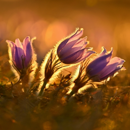 Spring background with flowers on meadow. Beautiful blooming pasque flower at sunset. Spring nature, colorful natural blurred background Reklamní fotografie