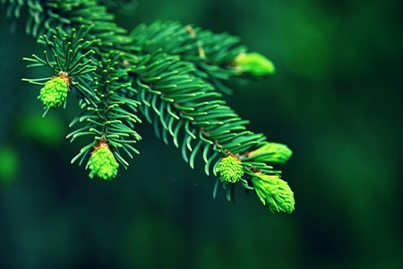 Beautiful coniferous twig tree.  Imagens