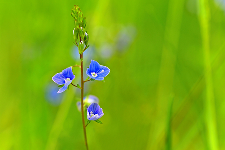Beautiful color shot of blue small flower in grass. Close-up view in nature.