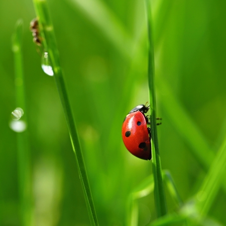 Beautiful color image of ladybugs in grass. Insect close up in nature.