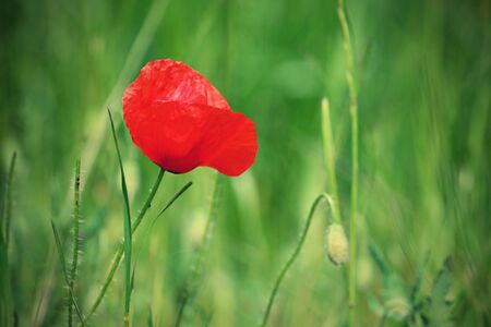Beautiful red flower - poppies. Natural colorful background. Stock Photo