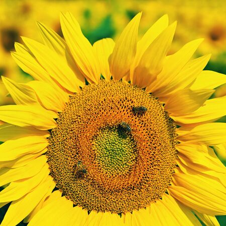 Beautiful yellow flowers - sunflower with bee. Traditional colorful summer background. (Helianthus) Reklamní fotografie