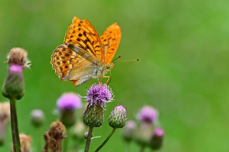 Beautiful orange butterfly on thistle. Natural colorful background. Argynnis paphia (Argynnis paphia)