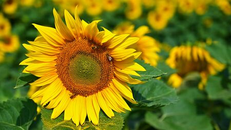 Beautiful yellow flowers - sunflower with bee. Traditional colorful summer background. (Helianthus) Banque d'images - 128378577
