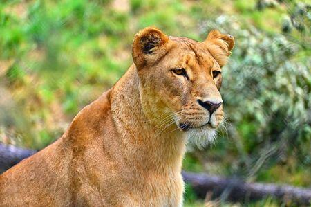 Animal - hermosa leona. Fondo de naturaleza colorida.