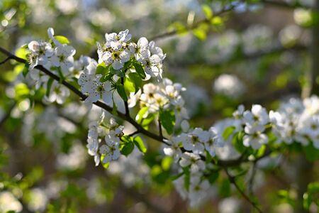 Spring background. Beautiful colorful blooming spring tree. Japanese cherry - Sakura. Nature background.