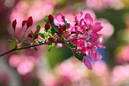 Beautiful blossom tree. Nature scene with sun in Sunny day. Spring flowers. Abstract blurred background in Springtime. Standard-Bild - 146662617