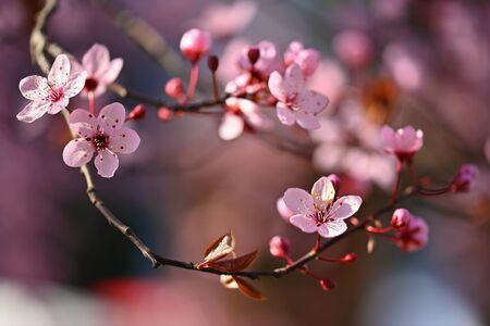 Spring - Springtime. Japanese cherry Sakura. Beautifully blooming colorful tree in nature. Background with sunrays. Standard-Bild