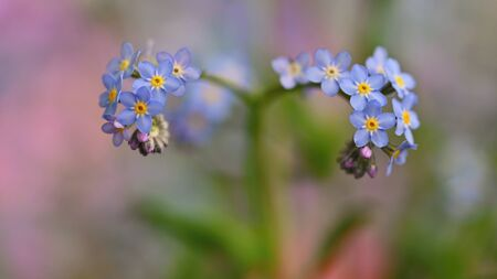 Beautiful blue small flowers - forget-me-not flower. Spring colorful nature background. (Myosotis sylvatica) Standard-Bild - 146662621