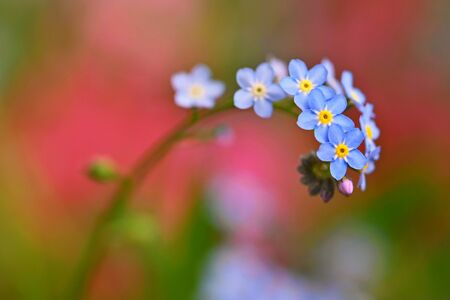 Beautiful blue small flowers - forget-me-not flower. Spring colorful nature background. (Myosotis sylvatica) Standard-Bild - 146662624