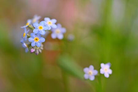 Beautiful blue small flowers - forget-me-not flower. Spring colorful nature background. (Myosotis sylvatica) Stock Photo