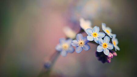 Beautiful blue small flowers - forget-me-not flower. Spring colorful nature background. (Myosotis sylvatica) Standard-Bild