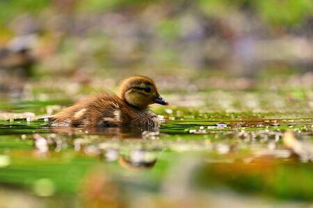Duckling. Mandarin duckling cub. Beautiful young water bird in the wild. Colorful background. Standard-Bild - 148044725