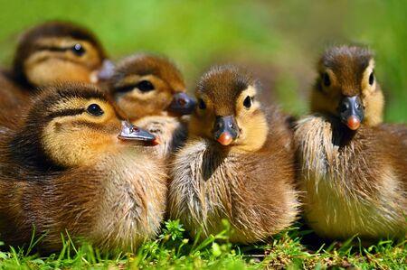 Duckling. Mandarin duckling cub. Beautiful young water bird in the wild. Colorful background. Standard-Bild - 148044094