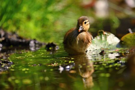 Duckling. Mandarin duckling cub. Beautiful young water bird in the wild. Colorful background.