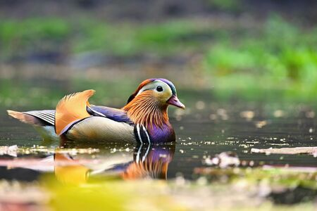 Beautiful mandarin ducks. Animals in the wild. Natural colorful background. Standard-Bild - 148044817