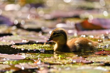 Duckling. Mandarin duckling cub. Beautiful young water bird in the wild. Colorful background. Standard-Bild - 148044925