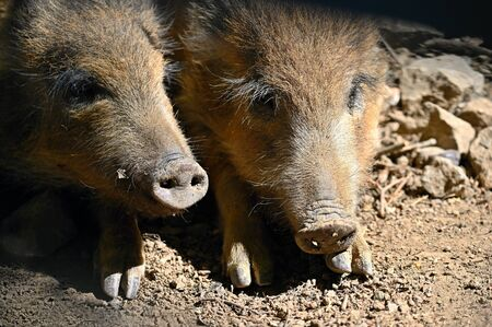 Beautiful little pigs wild in nature. Wild boar. Animal in the forest.