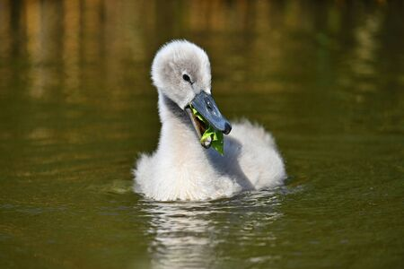 Beautiful swans cubs at pond. Natural colorful background with wild beautiful birds. (Cygnus)