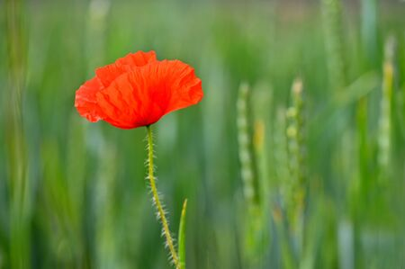 Beautiful red flower - poppies. Natural colorful background. Stockfoto - 150296374