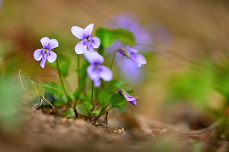 Spring time. Beautiful violet flowering spring flower on a meadow in nature. (Viola odorata)
