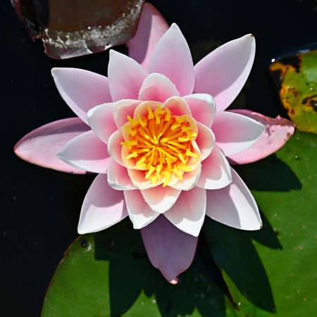 Beautiful blooming water lily plant. Colorful nature background for massage, spa and relaxation. 版權商用圖片
