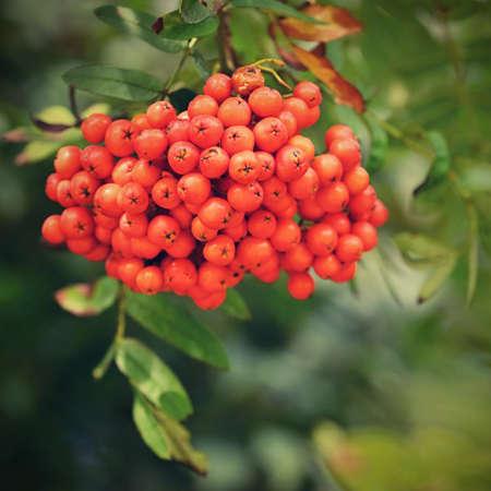 Rowan berries on a branch. (Sorbus alnifolia), (Sorbus aucuparia) 版權商用圖片