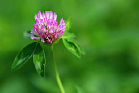 Beautiful pink flowering plant in a meadow Meadow Clover (Trifolium pratense)