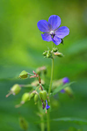 A beautiful violet flower in the grass. Natural colorful background. 版權商用圖片