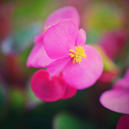 Pink flowers of everblooming begonia in flowerbed. (Begonia semperflorens)