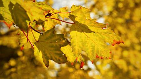 Autumn leaves. Natural seasonal colored background. 版權商用圖片