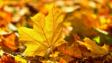 Autumn. Beautiful colorful leaves on trees in autumn time. Natural seasonal color background.