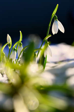 Snowdrops - Beautiful white spring flowers. The first flowering plants in spring. Natural colorful background. (Galanthus nivalis) Reklamní fotografie