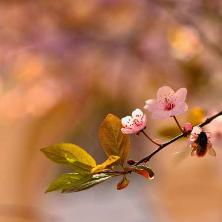 Spring flowers. Beautifully blossoming tree branch. Cherry - Sakura and sun with a natural colored background.